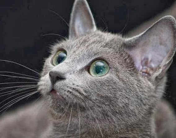How did Russian Blue get his Name?