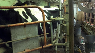milking cows on a farm in bad axe, pen, cage