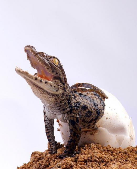 10 hermosas fotografías de cocodrilos bebes y su proceso de nacimiento