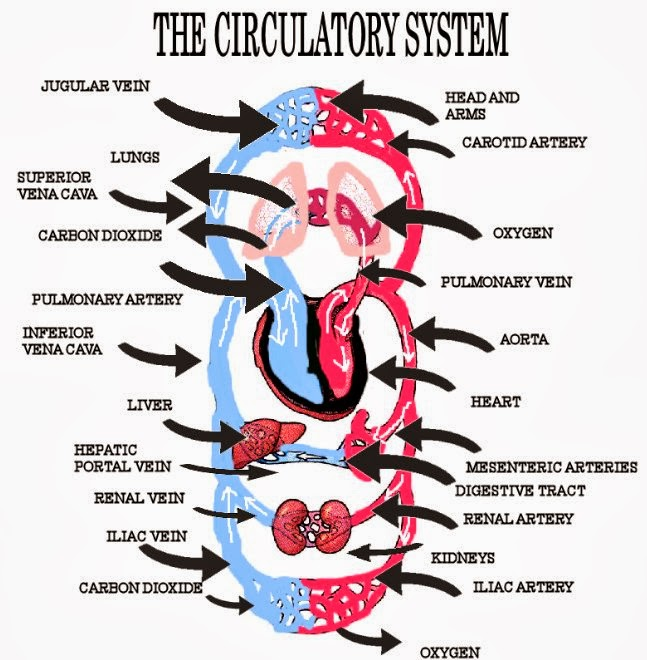 the description of how the circulatory system works in the body This article covers the structures, function and pathway of the circulatory system learn all about the system that carries blood in the body at kenhub.