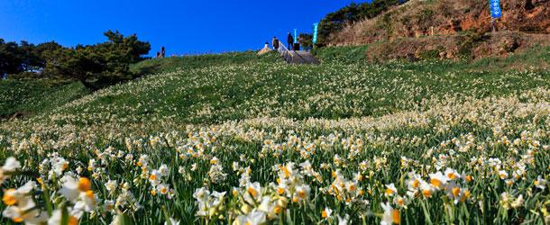 Wild Narcissus Festival at Suzaki Peninsula, Izu Shimoda, Shizuoka Pref.