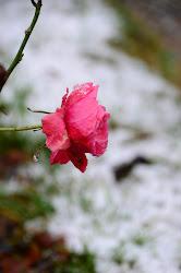 Roser i Baroniets hage.