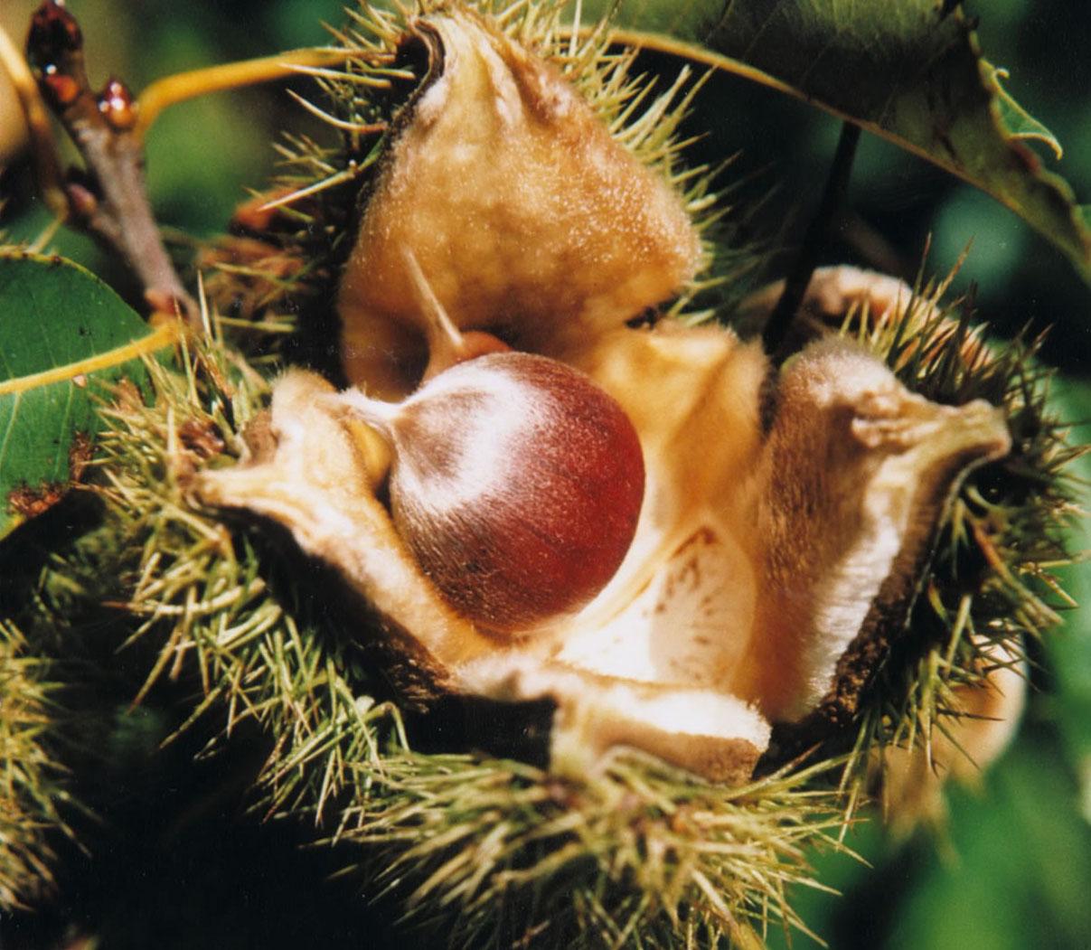 Fruit warehouse american chestnut castanea dentata for The chestnut