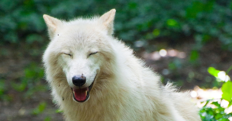 Body language of wolves  Living with Wolves