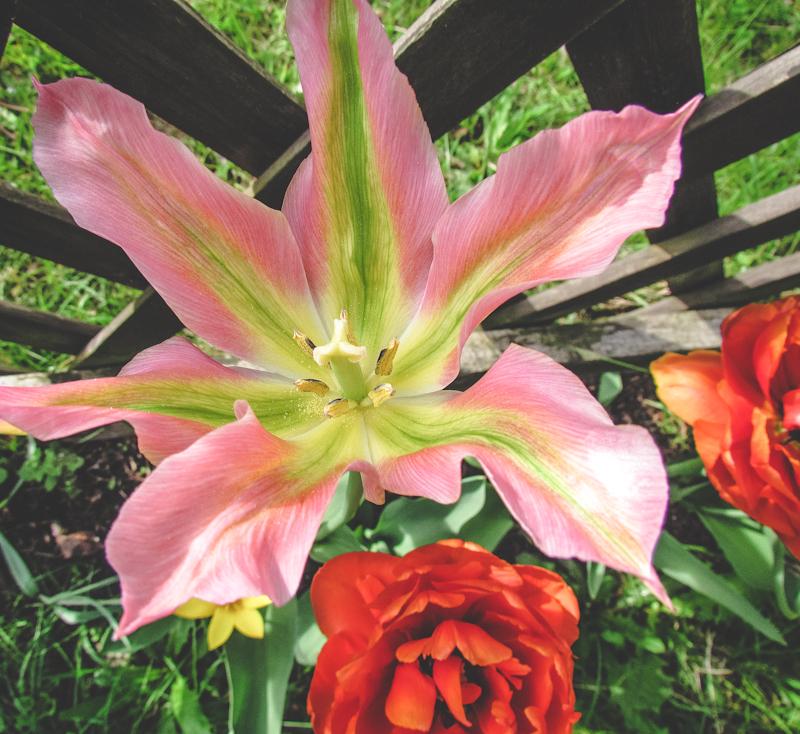 Tulpen am Gartenzaun