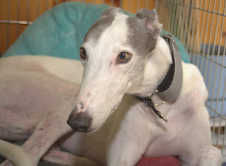 Blue greyhound in crate