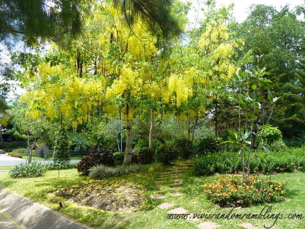 Ratchaphruek Tree or Golden Shower tree at Royal Flora Ratchaphruek Chiang Mai