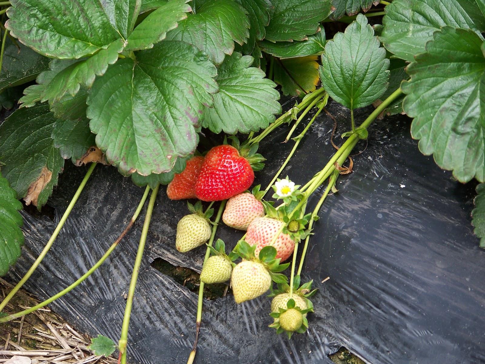 Cherry Growers Association of South Australia | Cherry Sales