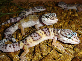 Leopard Geckos   The Ultimate Starter Lizards: Small, Easy To Handle, Only  Need A Small Tank, And Do Not Need Special UV Lighting. Crested Geckos And  Fat ...