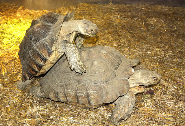 how to tell the age of a sulcata tortoise