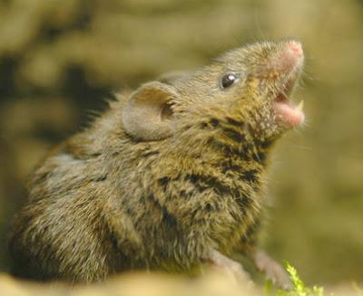 Tikus Nyanyikan Lagu Cinta www.guntara.com