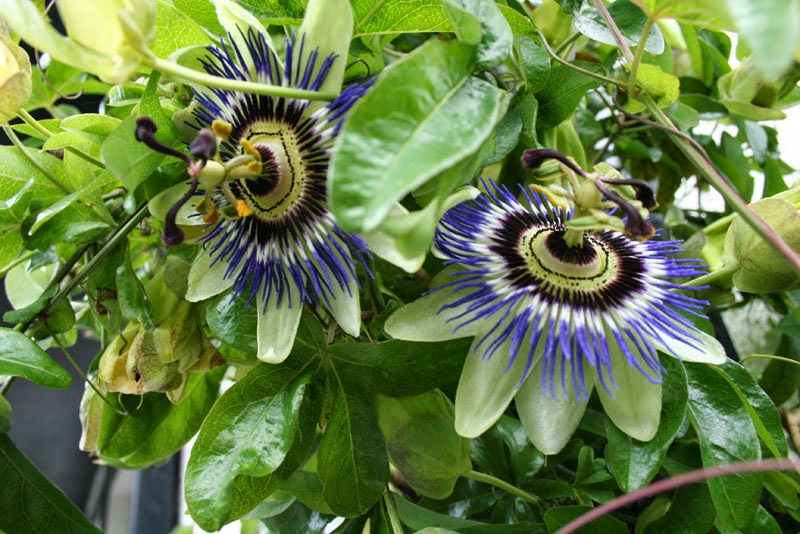 Passionflower herb for asthma