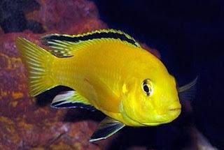 cara budidaya ikan lemon,peluang usaha budidaya ikan cupang,ikan lele,ikan gurame,pikan nila,budidaya jamur merang,budi daya ikan nila,prospek,