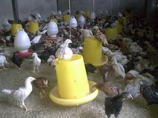 Bisnis yang Menjanjikan - Cara Beternak Ayam Jawa Super