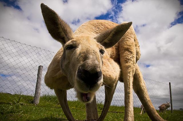 Canguro - Australia