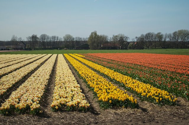 bicycle tulip fields