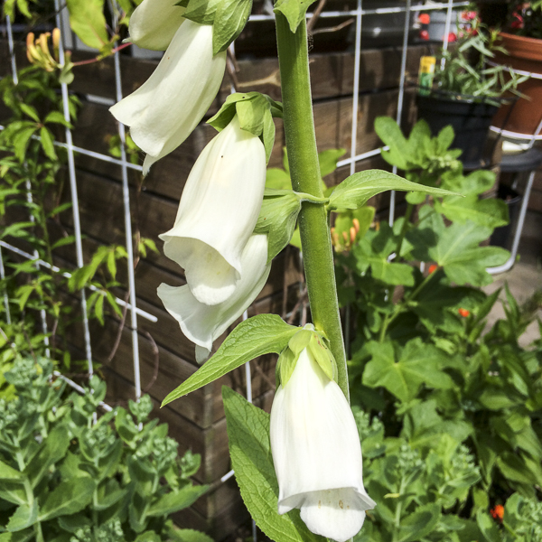 fingerborgsblomma, digitalis alba