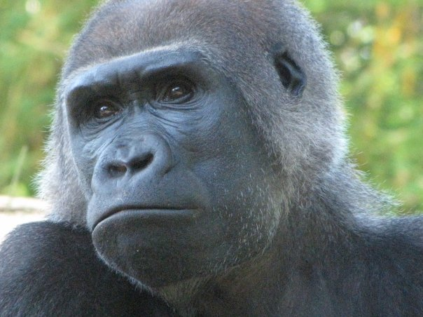 http://3.bp.blogspot.com/-Ke-aFzWuKf8/Top2CFVBWvI/AAAAAAAAEBE/6Qf6T_nAY1s/s1600/gorilla+face+251_n.jpg