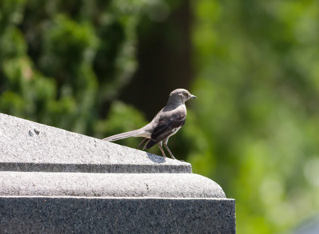 Northern Mockingbird - Greenwood Cemetery, New York