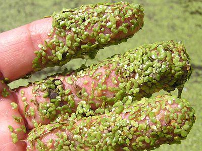 Heartland Outdoors :: Lake Doctor :: Get rid of duckweed/watermeal