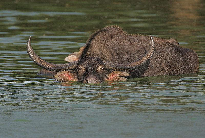Endangered Species: Wild Water Buffalo Wild Water Buffalo Endangered Species