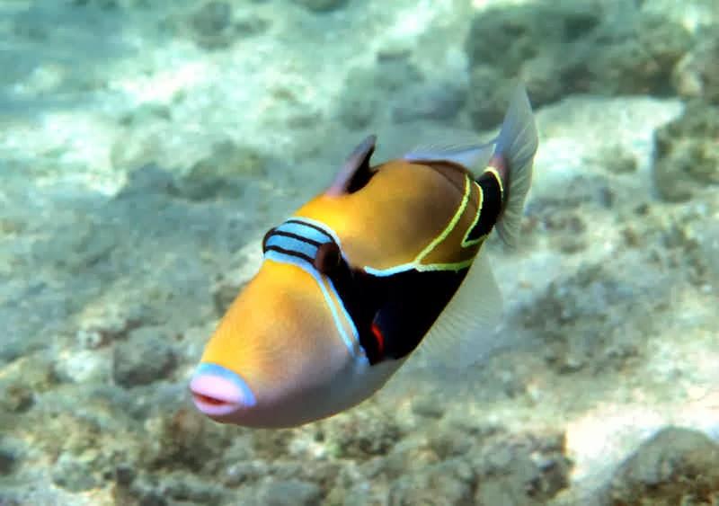 The wayward hawaiian december 2013 for Edible hawaiian fish