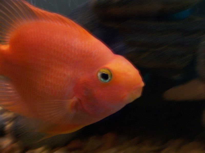 blood parrot cichlid the blood parrot cichlid also known as parrot ...