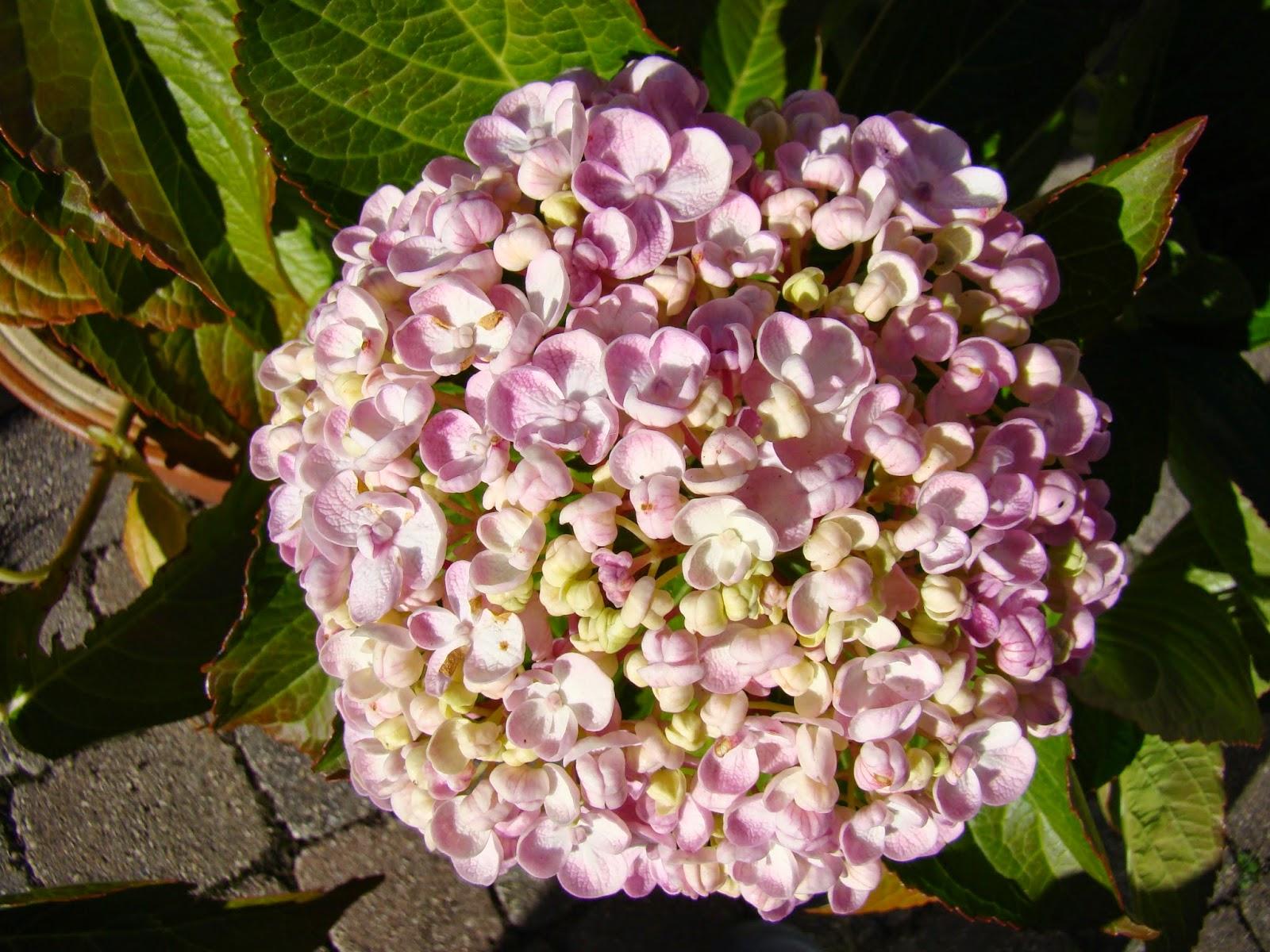 hydrangea macrophylla ayesha ou hortensia à fleurs de lilas