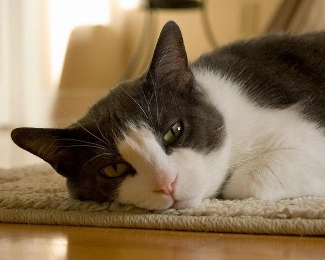 La fiebre en el gato
