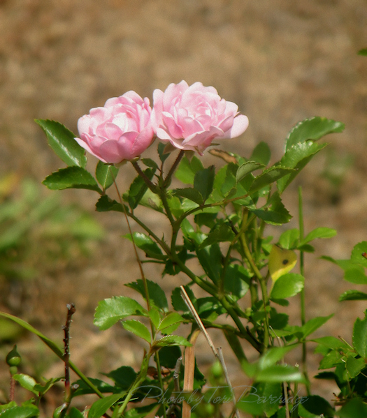 Pink rose in the ditch