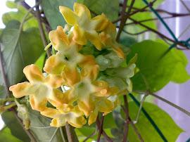 Bunga Tongkeng