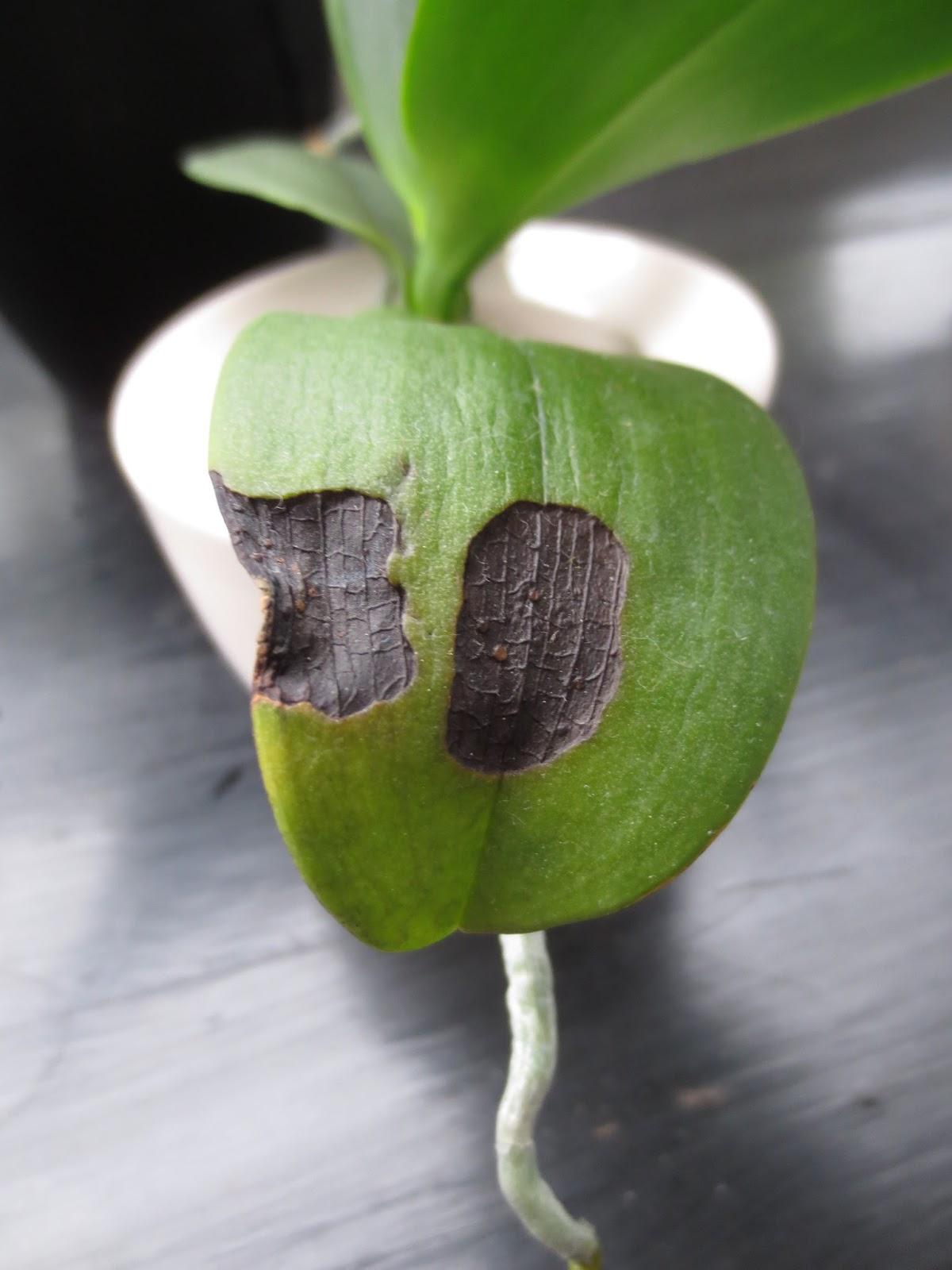 Orchid es au fil du temps coups de soleil - Coup de soleil tache blanche ...