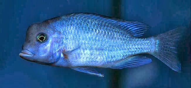 Mavi yunus ciklet (Cyrtocara moorii)
