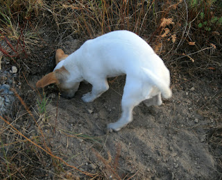 Thelma digging out an ants nest