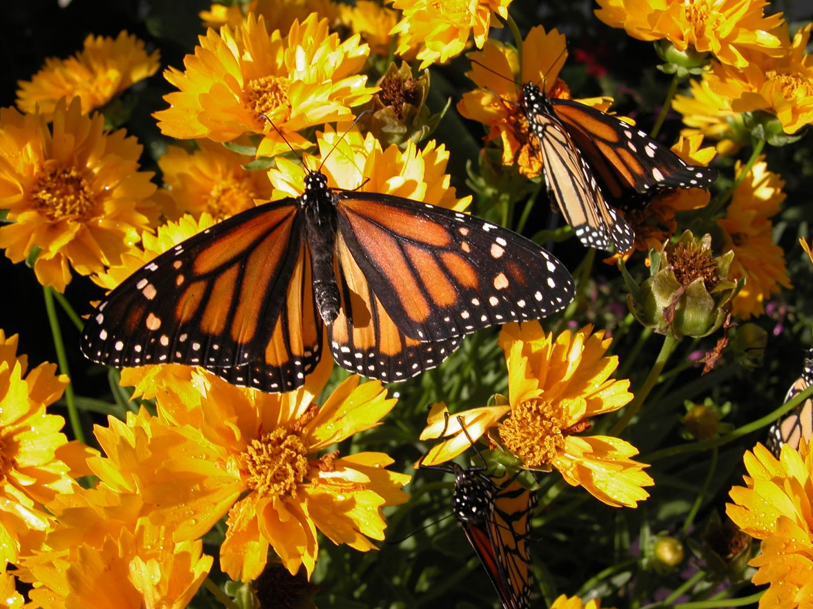 Monarch Butterflies on Coreopsis by Kristen Gilpin