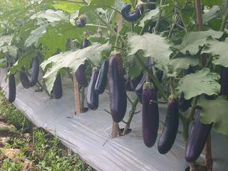 Budidaya Terong ungu