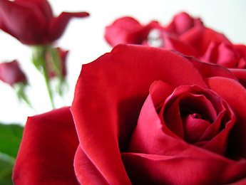 Pics obsession roses and their meanings