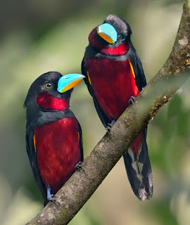 Screenshots of the Red and Black Broadbill Bird.