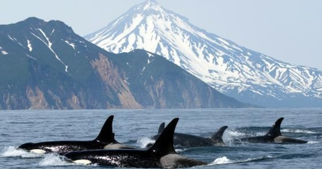 "born free killer whales essay Argumentative essay it is a known fact about orca whales that, ""once a calf is born into a death at seaworld shamu and the dark side of killer whales in."