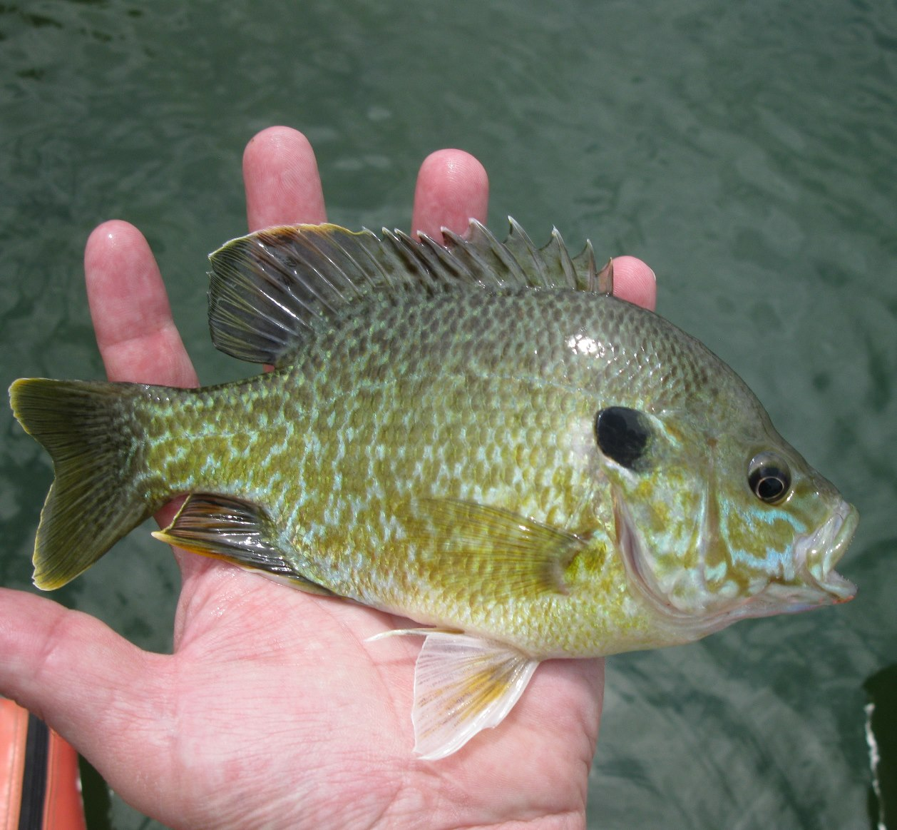 Coloradocasters hello panfish for Blue gill fishing