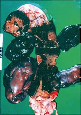 Hình 8: Xảy thai và thai hóa gỗ trên chó cái