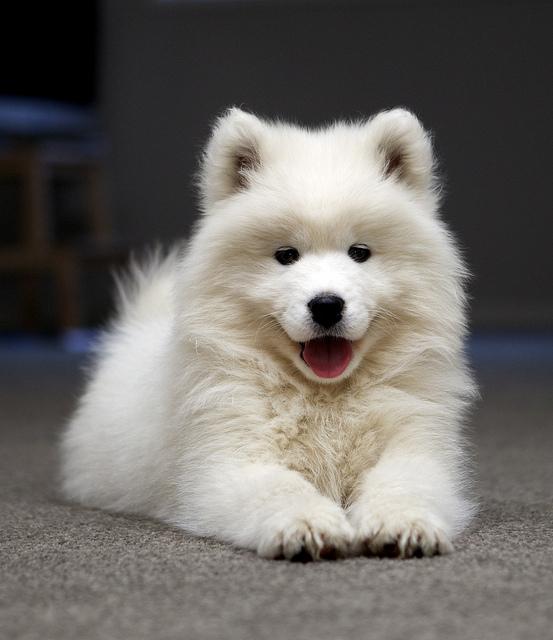 Breeds Dog: Samoyed Dog Informations
