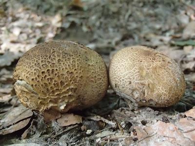 grzyby, grzyby we wrześniu, grzybobranie we wrześniu, tęgoskór pospolity, Scleroderma aurantium