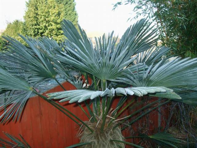 trachycarpus fortunei wagnerianus