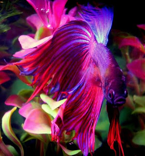 large purple Betta fish with flowing fins