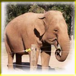 gajah_asia_1