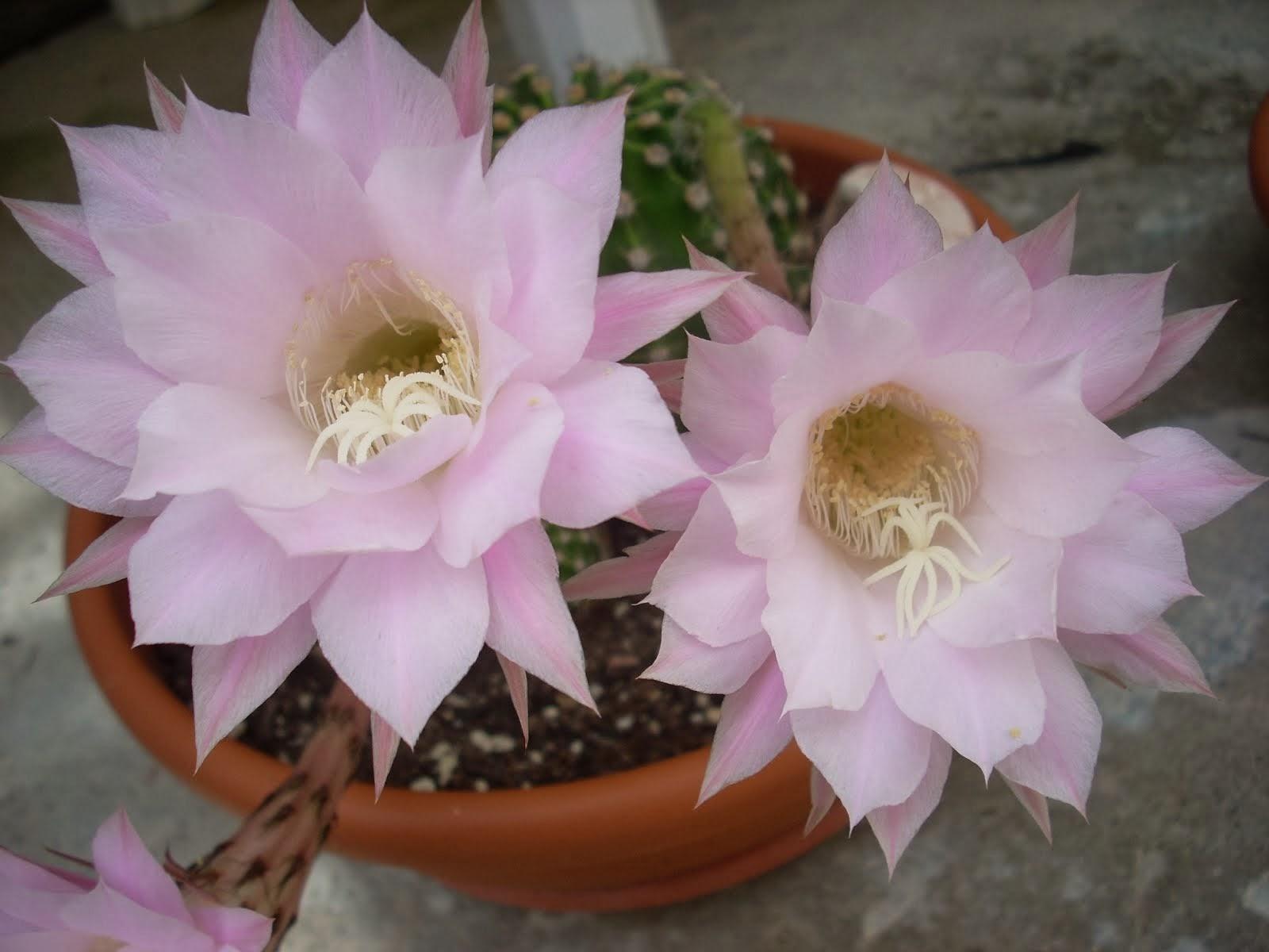 Echinopsis 2013
