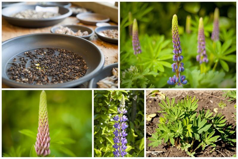 De Lupine - plant met een verhaal | De Boon in de Tuin