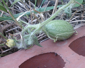 hairy baby watermelon