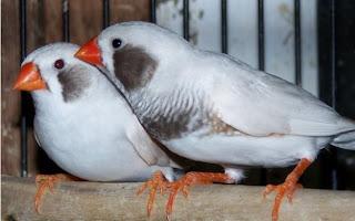 White Cheek Finch For Sale in Karachi